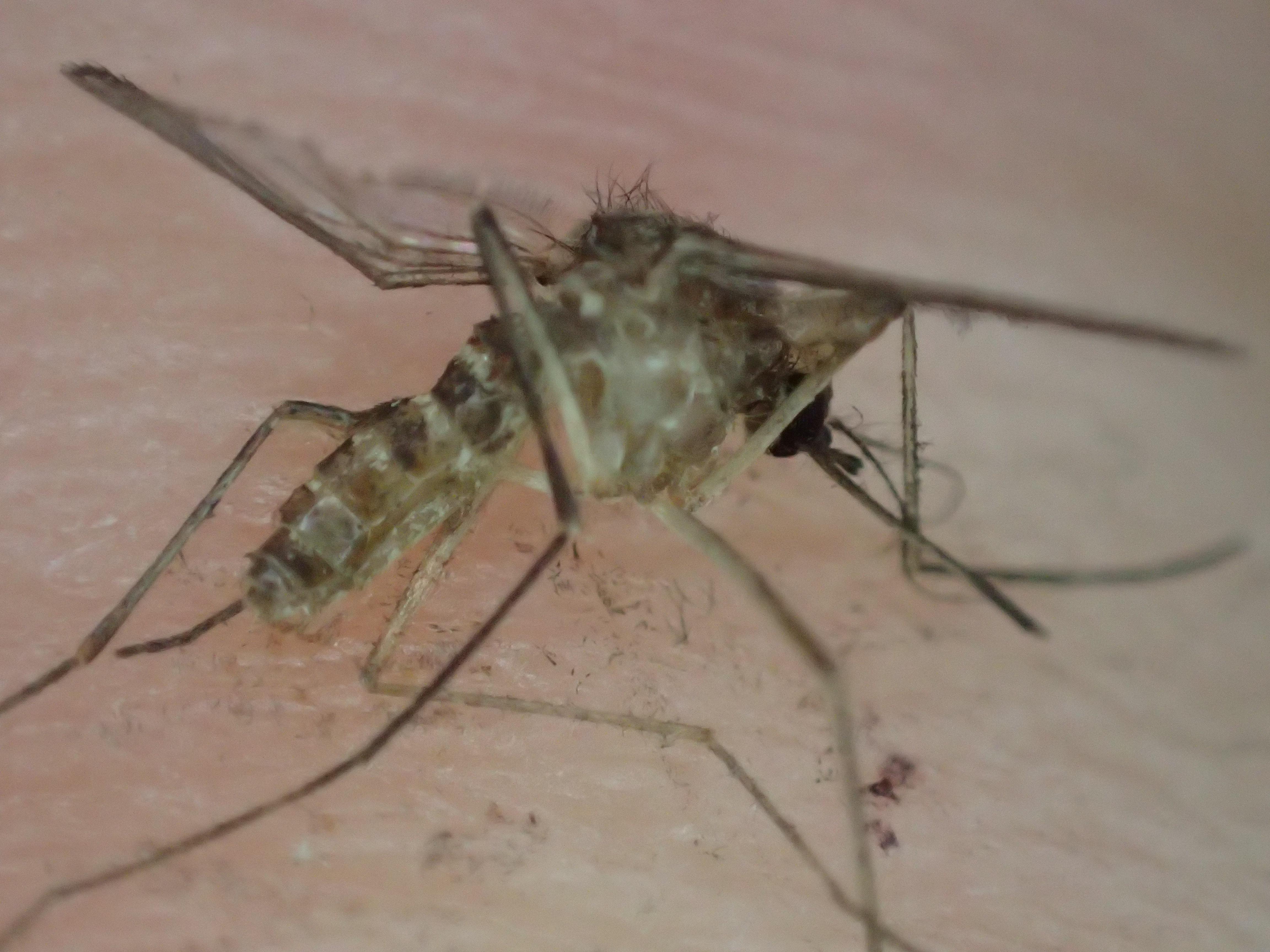 人力で駆除・退治した媒介虫の蚊