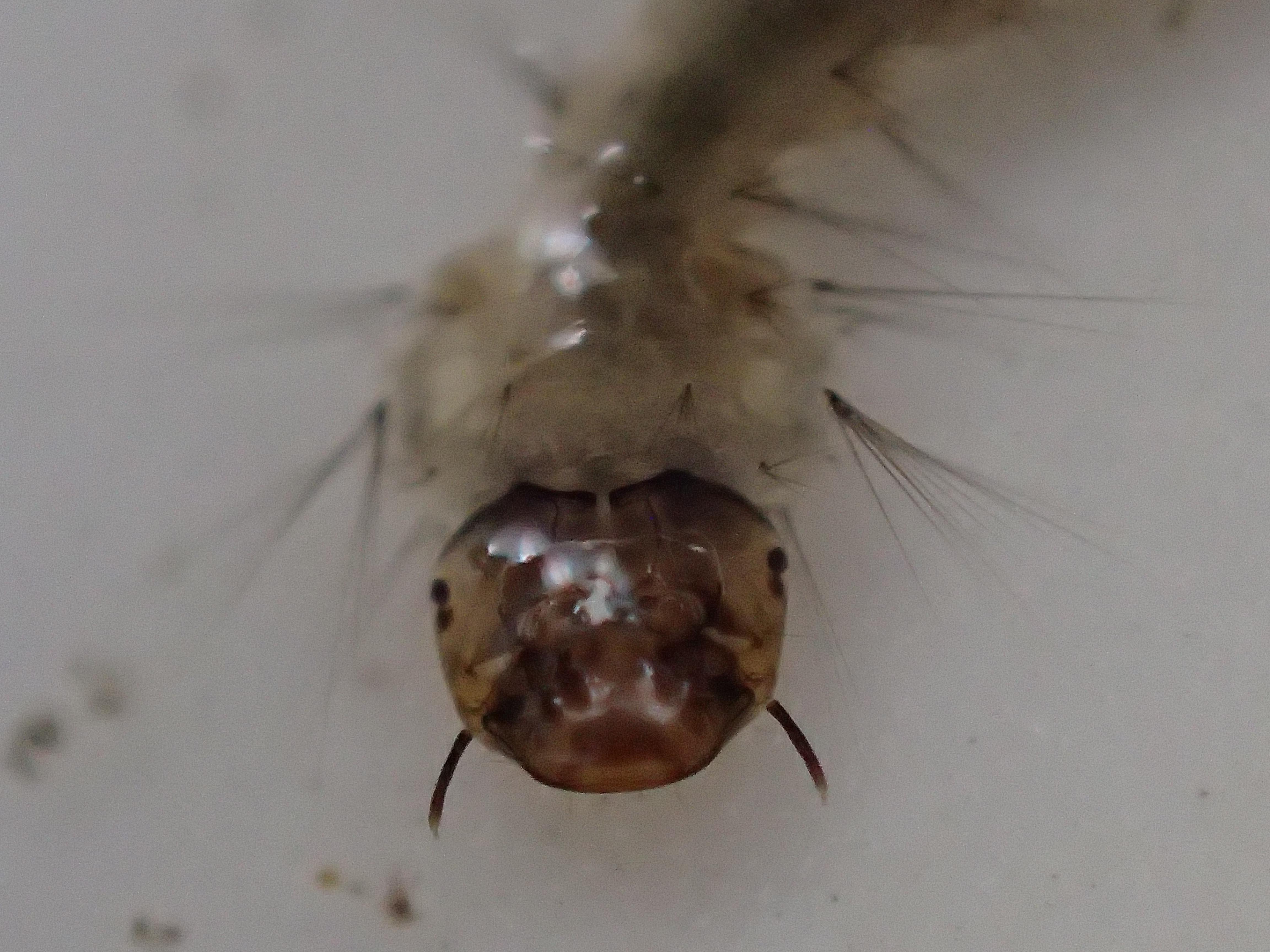 蚊の幼虫ボウフラの顔の真正面写真