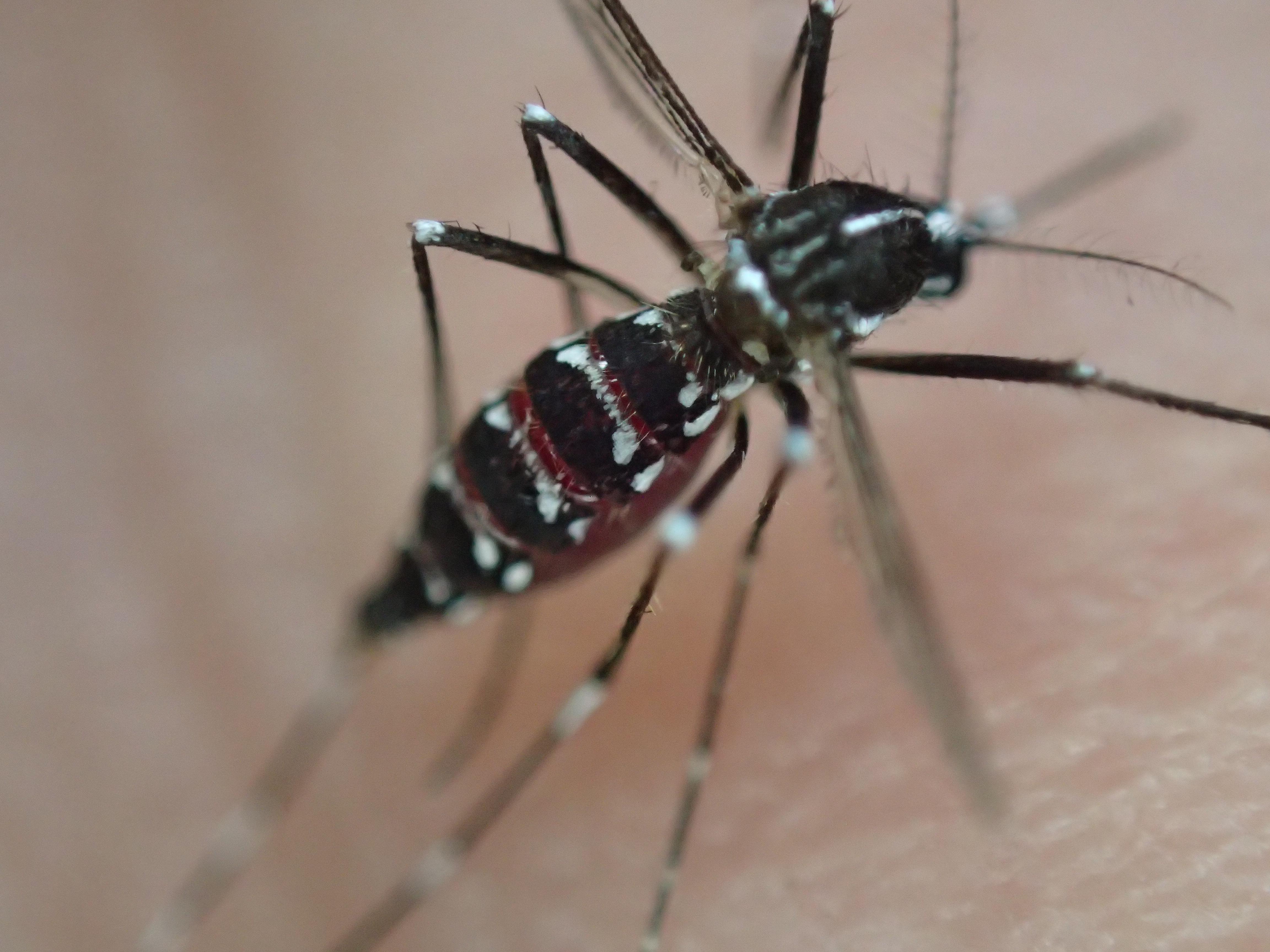 吸った血で赤黒く腫れ上がったようにパンパンになっている蚊のお腹