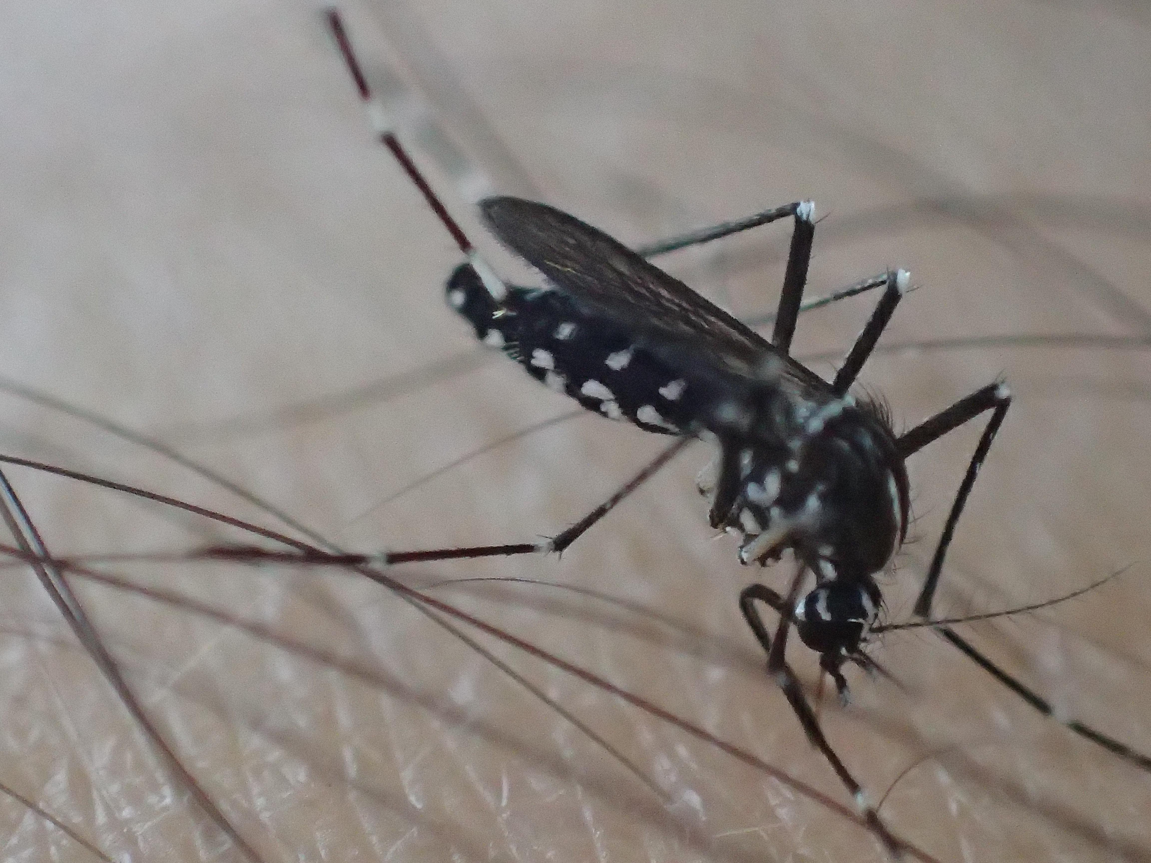 写真のヤブ蚊・ヒトスジシマカは珍しいほど血を吸うのが遅い