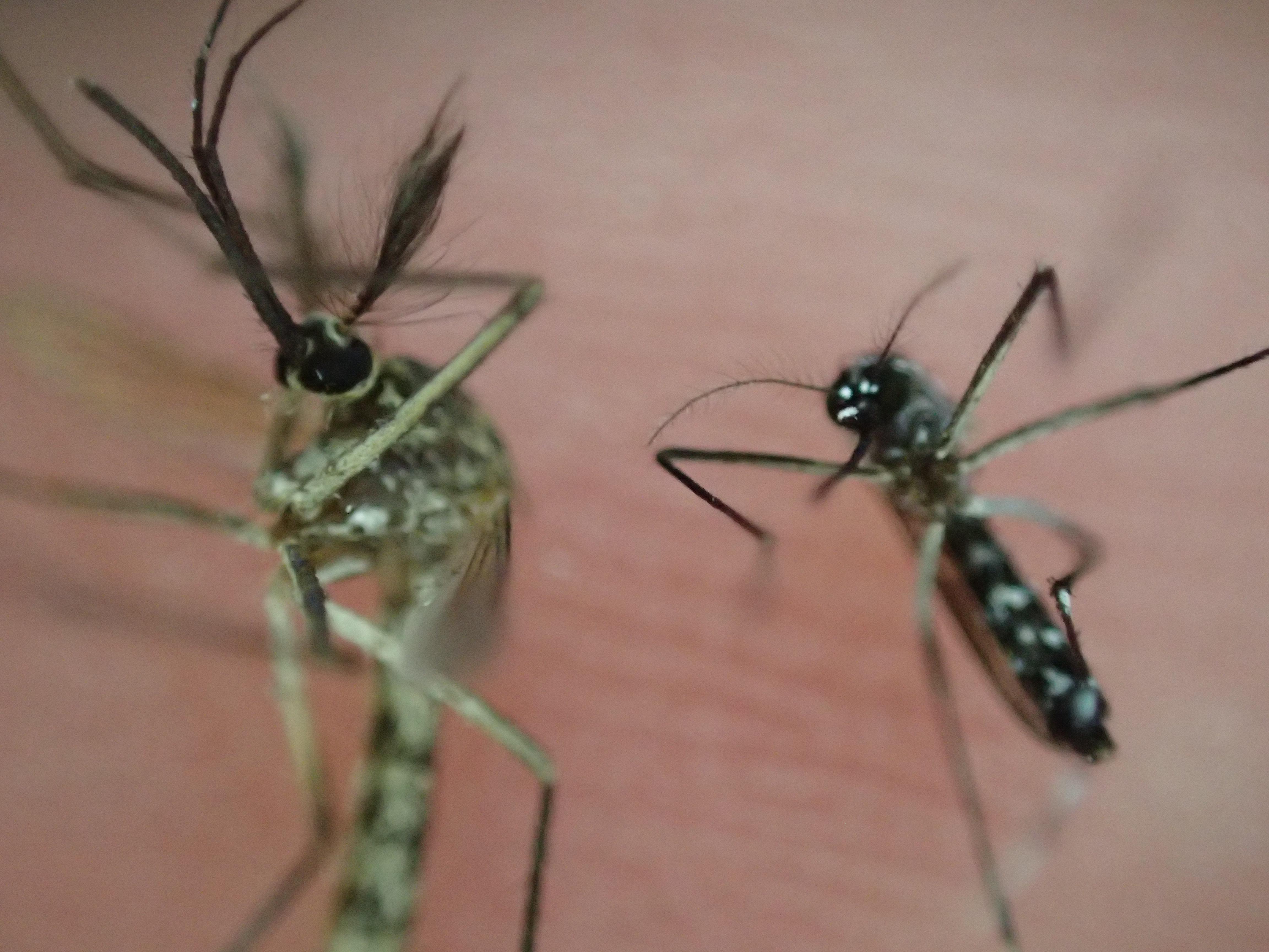 大きい蚊は、吻(ふん)の湾曲、胸の白色など体の特徴からオオクロヤブカの可能性が高い?