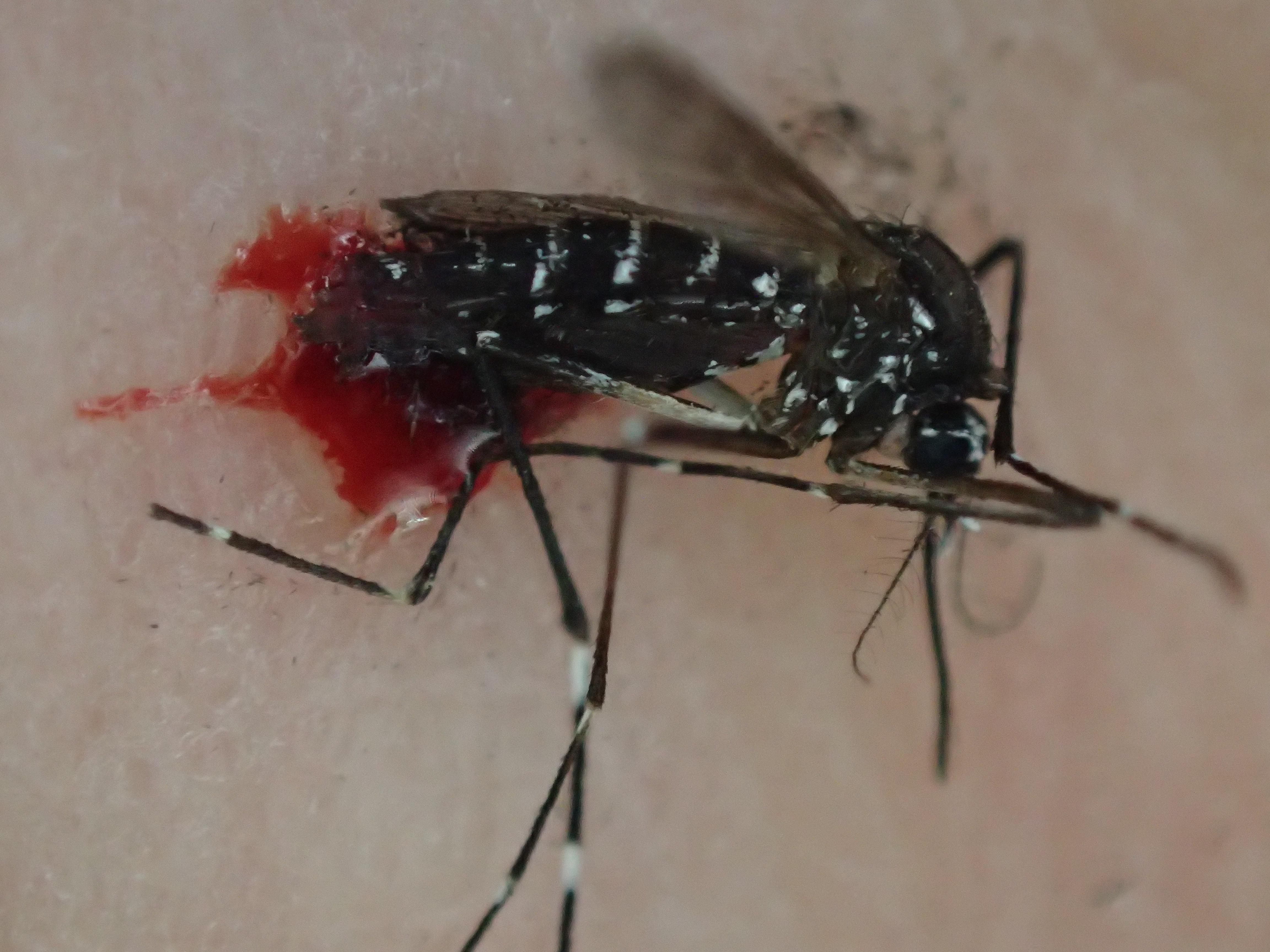 血を吸った蚊を叩いて退治した瞬間!