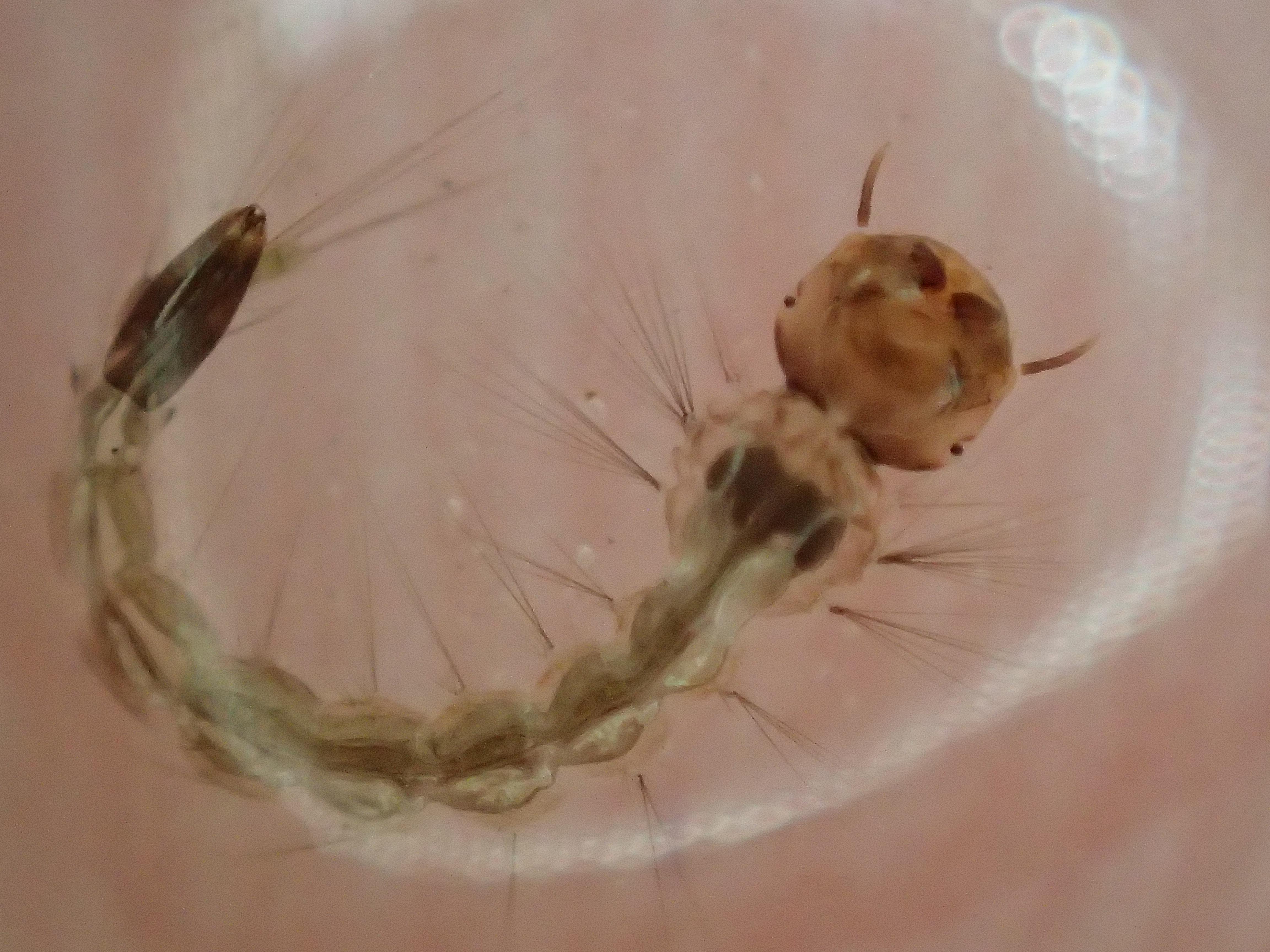"""害虫""""蚊""""の幼虫ボウフラを発見したので指で捕まえてみた"""