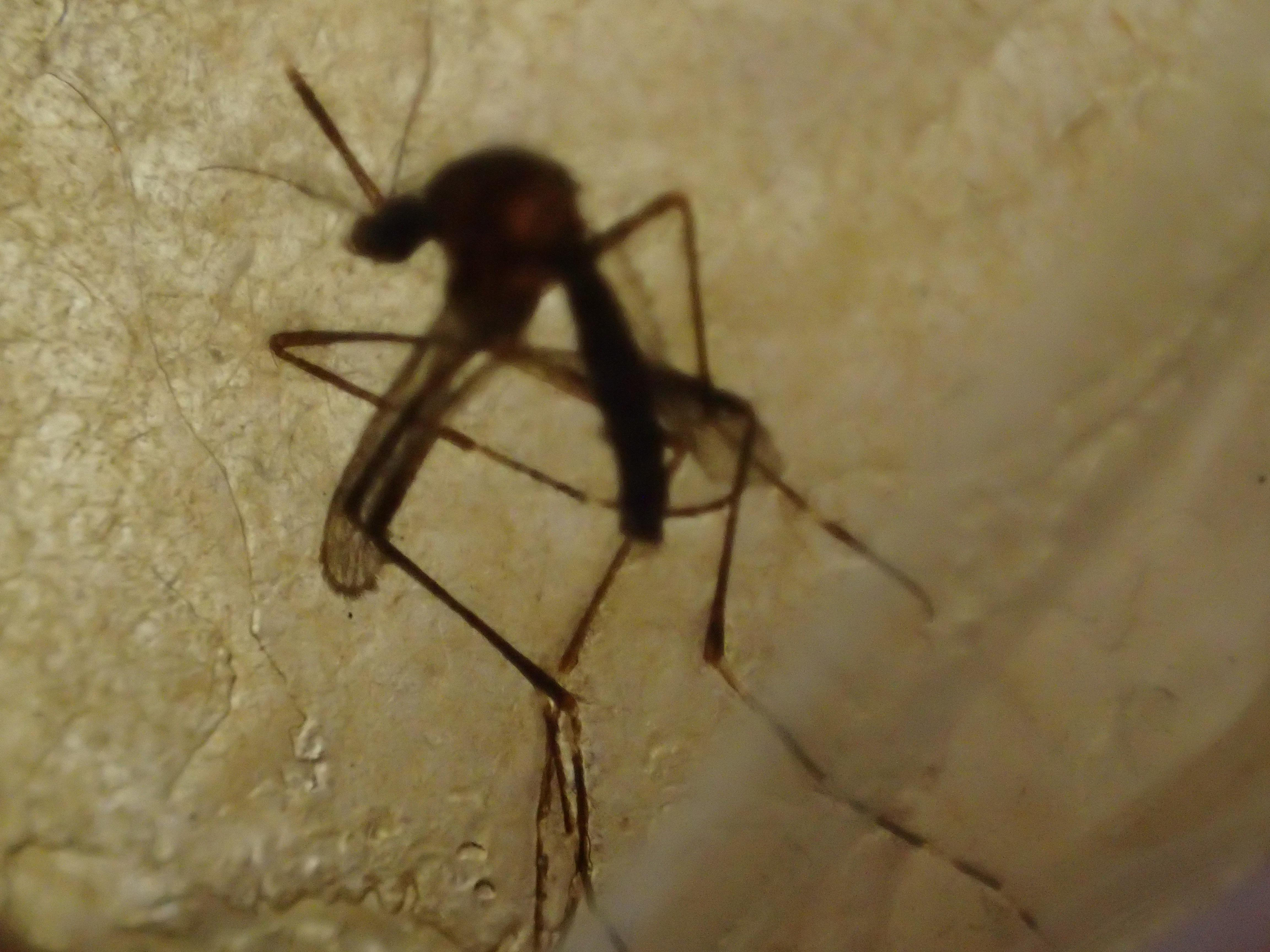 ハエの駆除用品「ハエ取り紙」に掛かった害虫の蚊(ヒトスジシマカ・ヤブ蚊)