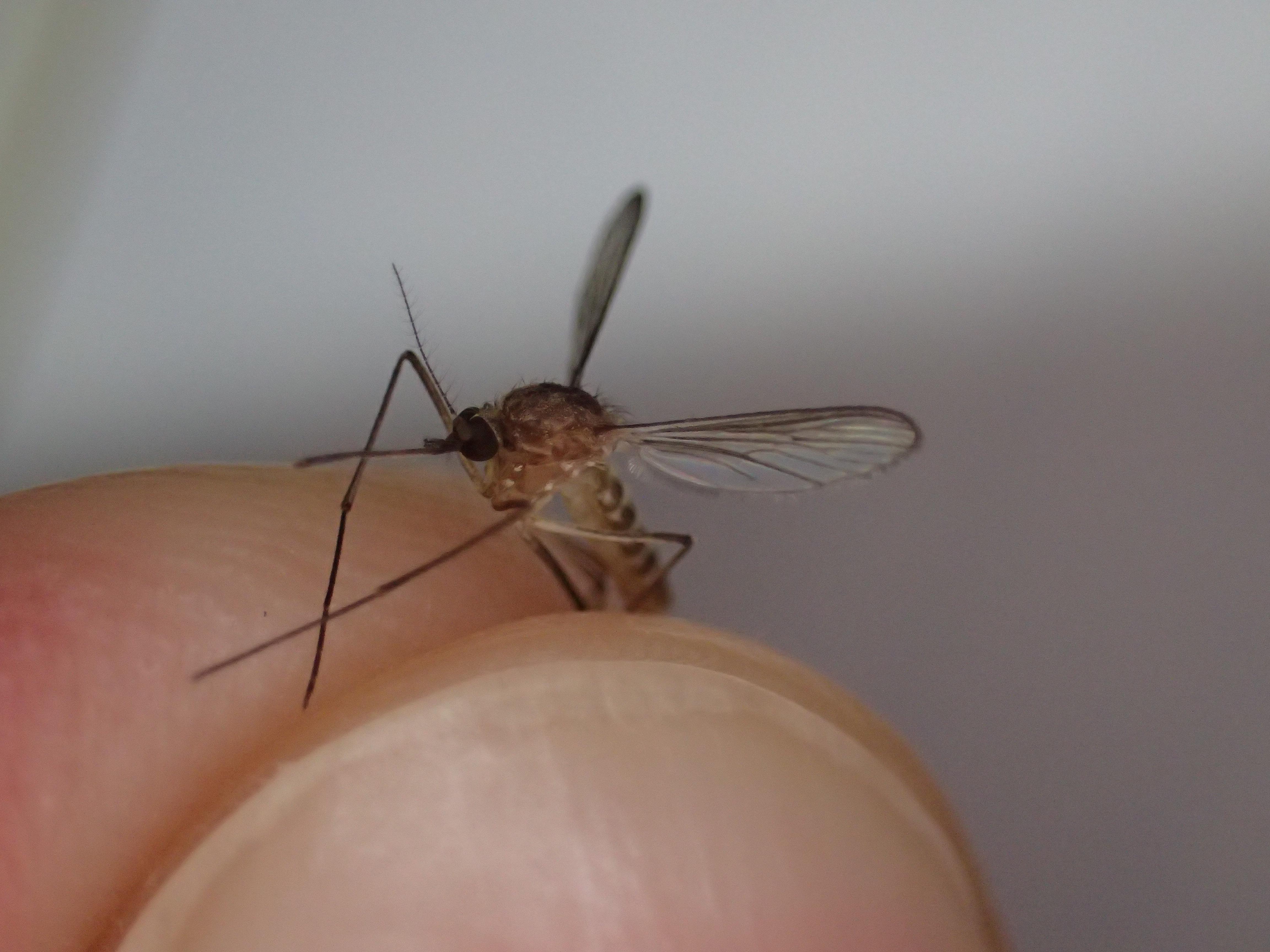 吸血性の害虫イエカ(蚊)の死骸を撮影した写真