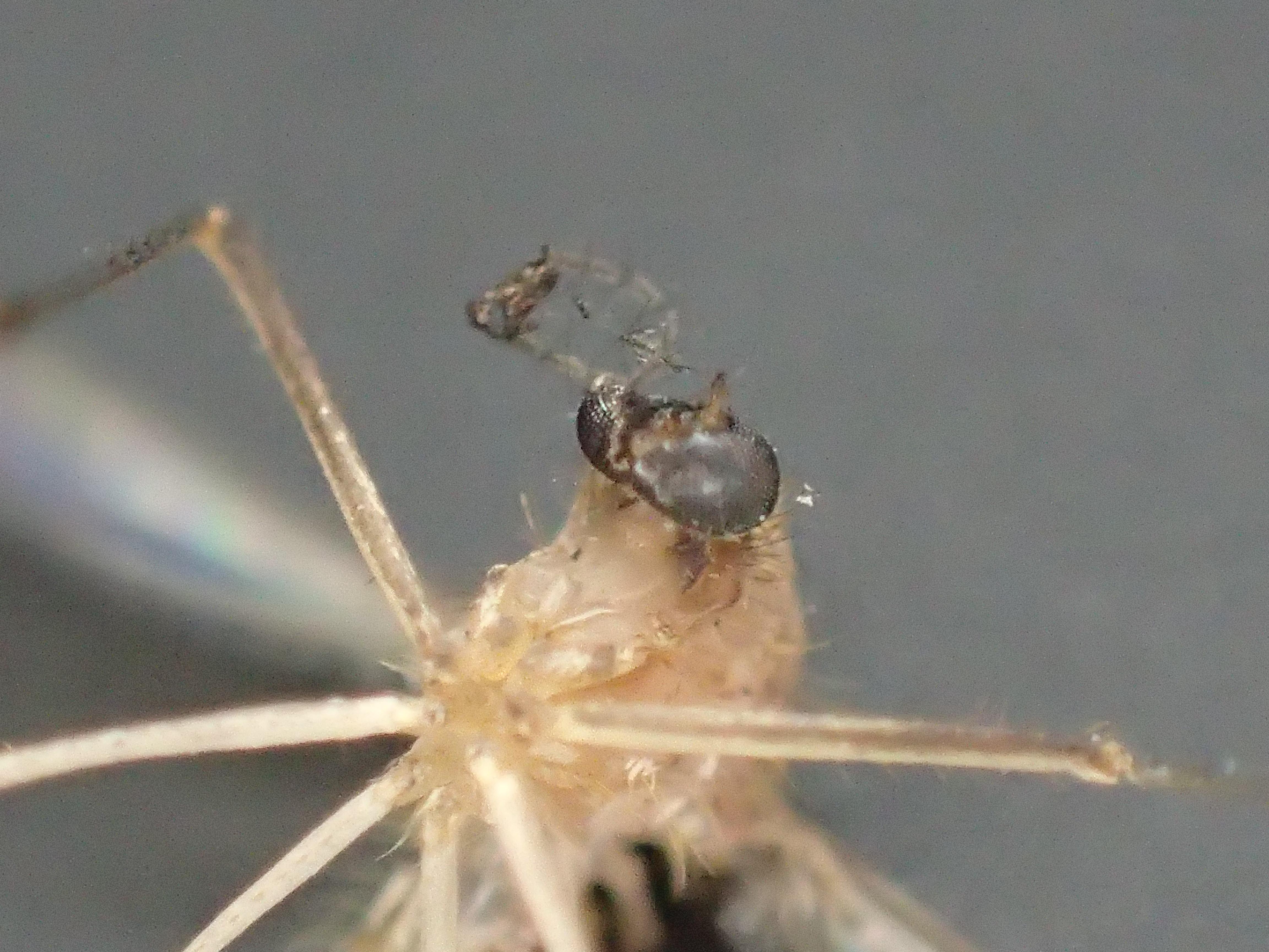 電撃殺虫ラケットで焼け焦げて完全に死滅したイエカ(蚊)の死骸