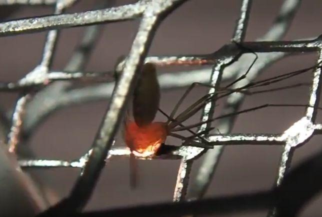 電撃殺虫ラケットで火花が散った害虫イエカ(蚊)