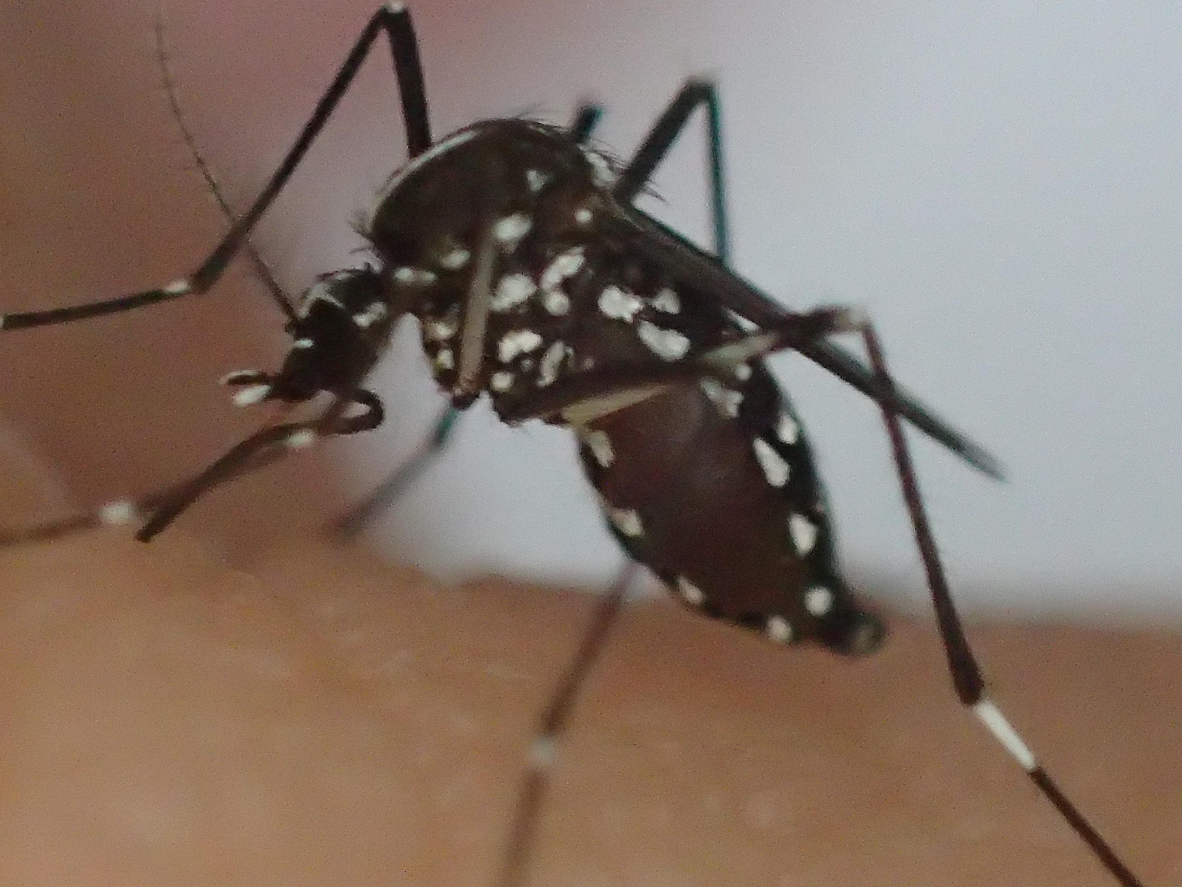 吸った血で少しずつ腹部が赤黒く膨らみ始めたヤブ蚊(ヒトスジシマカ)