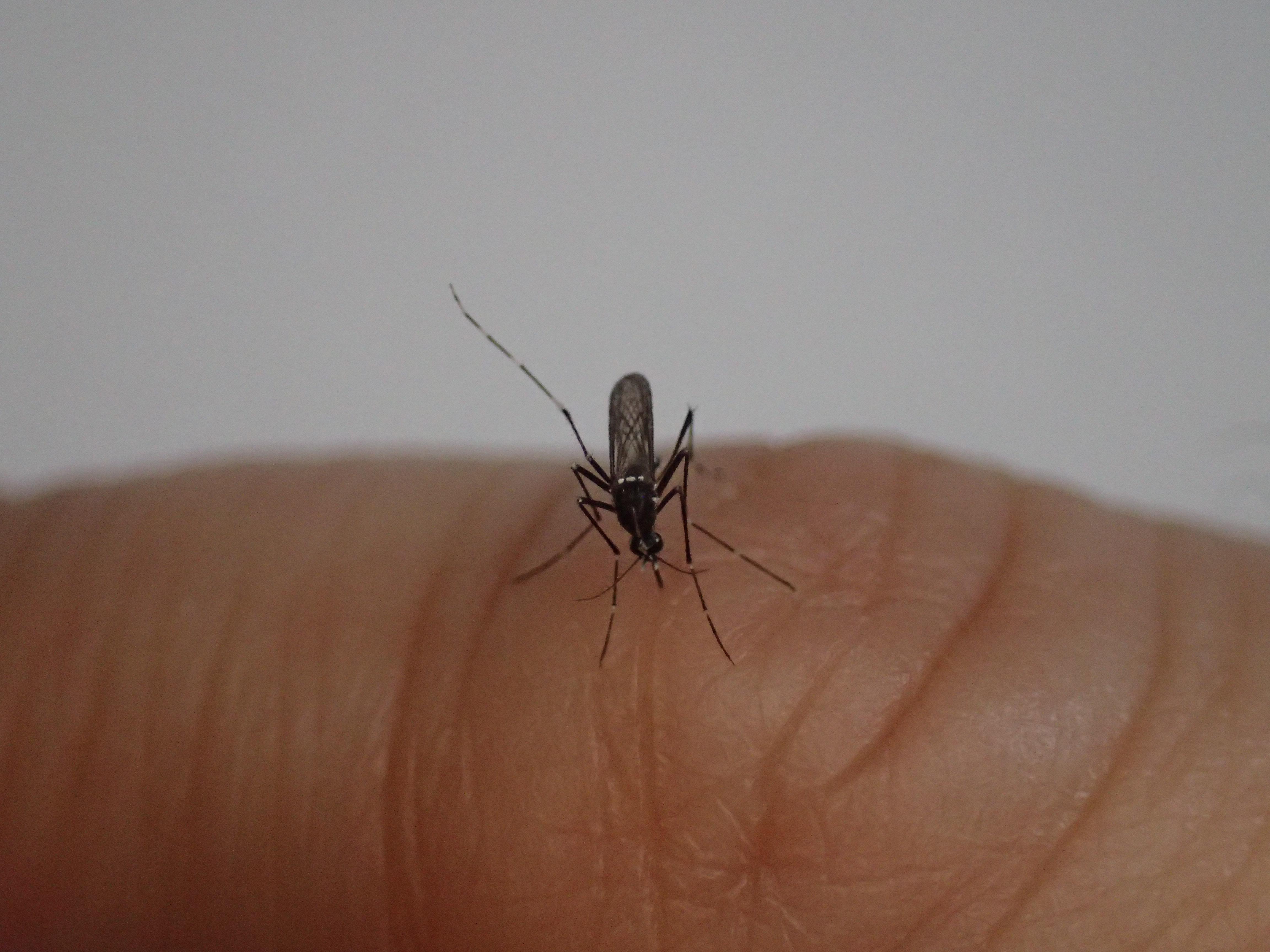小指の関節シワから吸血する白黒模様の害虫ヤブ蚊(ヒトスジシマカ)