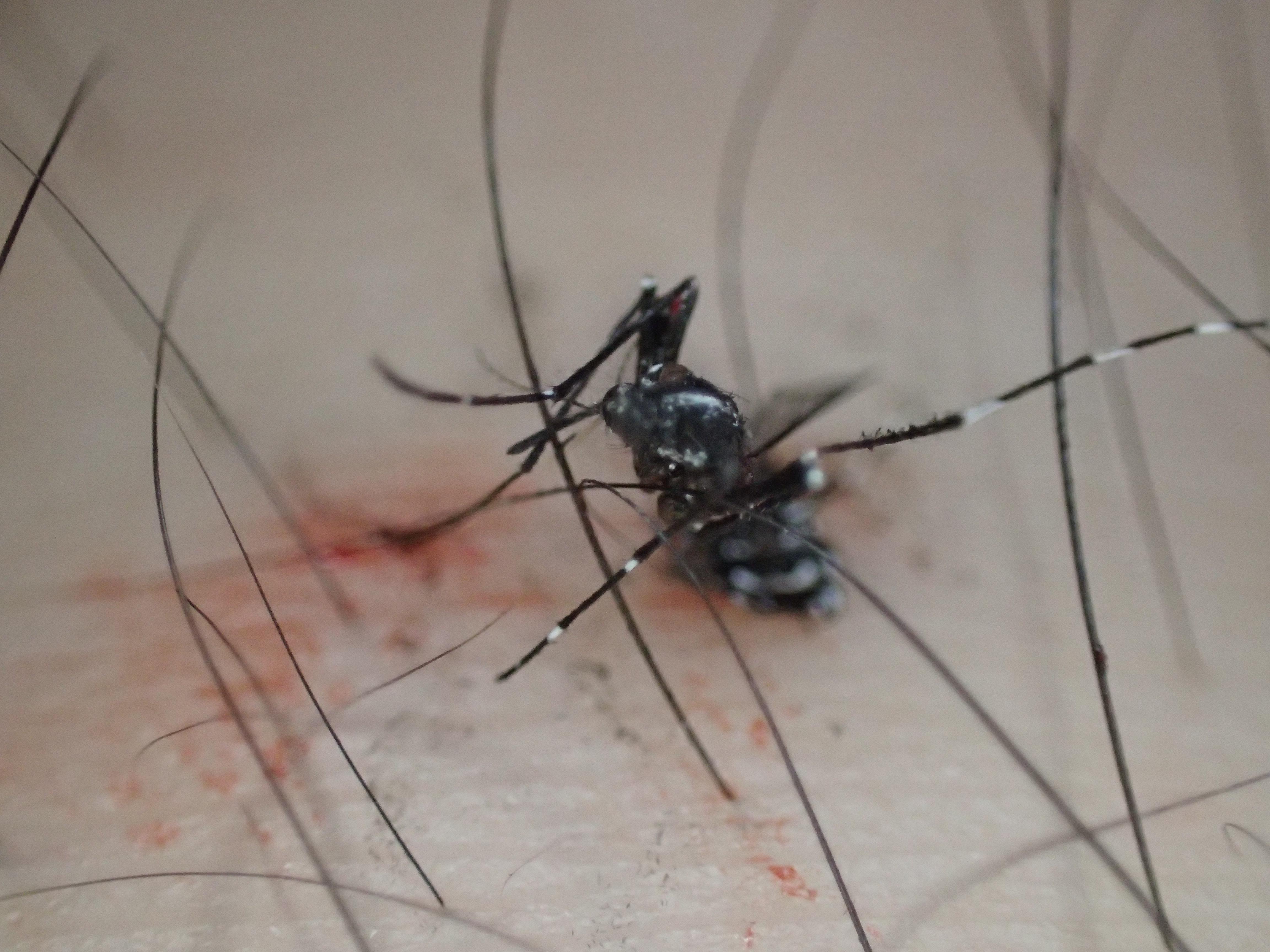 息絶えたヤブ蚊が足の上で死んでいる