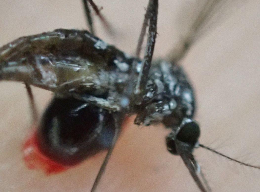 吸血直後に叩かれ瀕死の状態の害虫ヤブ蚊(ヒトスジシマカ)