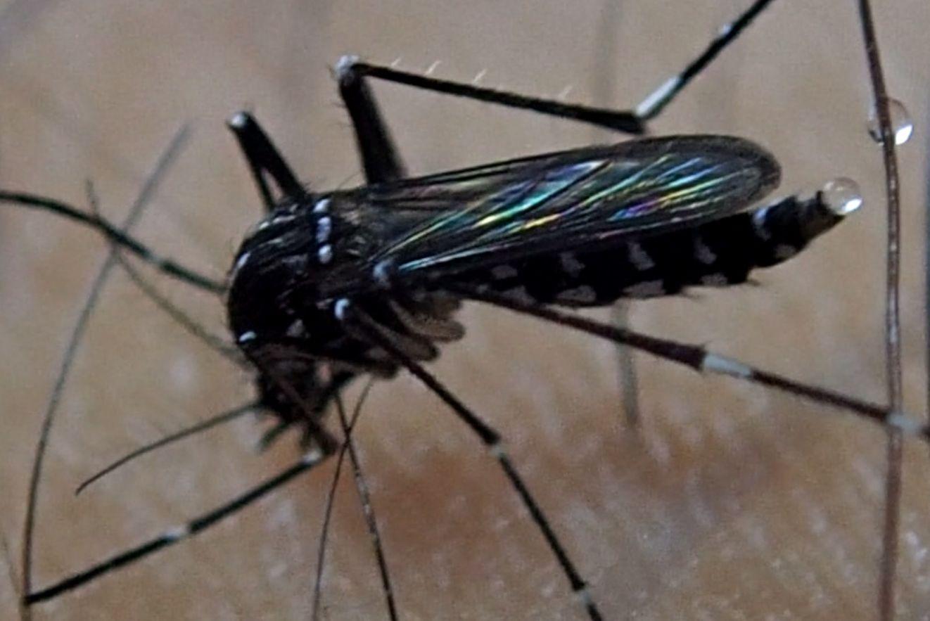 腕毛に付着した蚊の小便?に2滴目が合わさる衝撃の瞬間!
