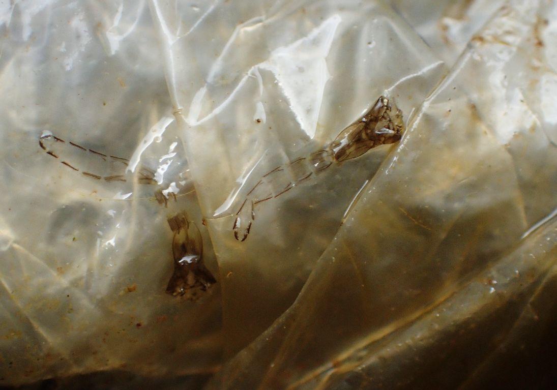 ボウフラが成虫になった後に残る殻