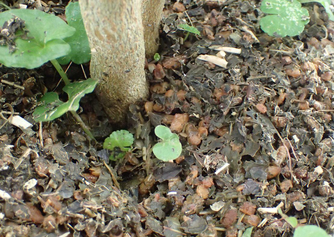 肥料代わりに植物の根元に撒いた出がらし茶葉