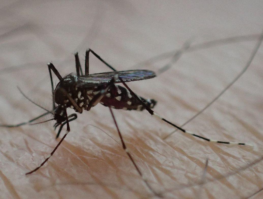 膝頭(ひざがしら)・ひざ小僧から血を吸うヤブ蚊