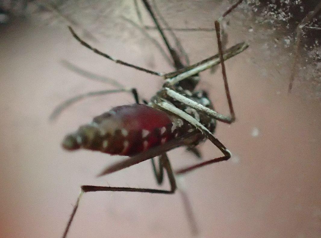 吸血中のヤブ蚊をセロハンテープで生け捕りに成功