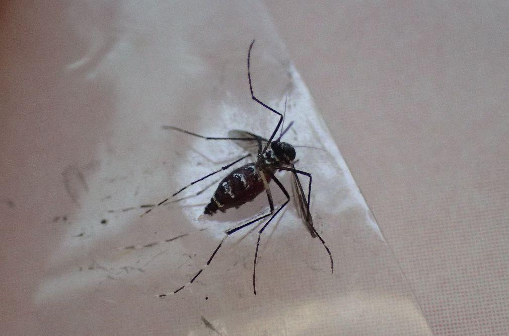 セロハンテープでヤブ蚊を捕獲