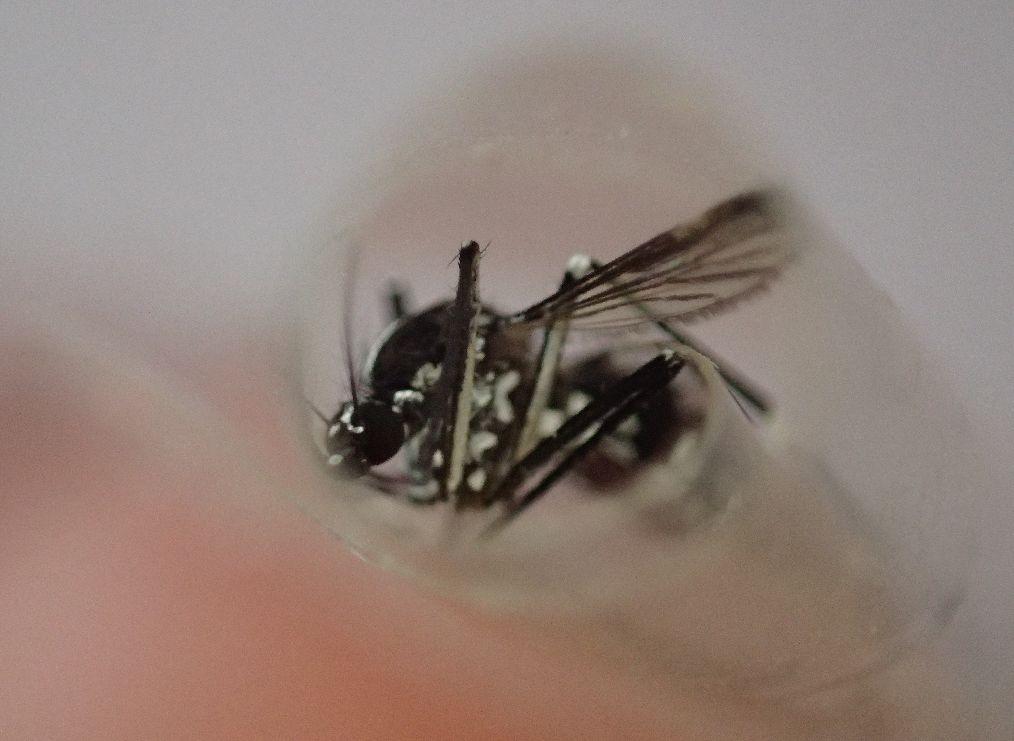 捕らえたヤブ蚊をテープで閉じ込める