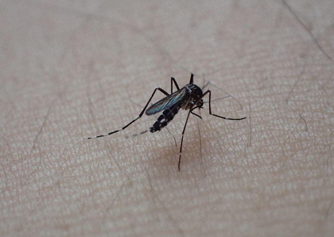 ヤブ蚊が腕から血を吸う様子