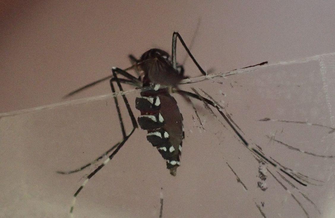 セロハンテープでヤブ蚊を捕らえた