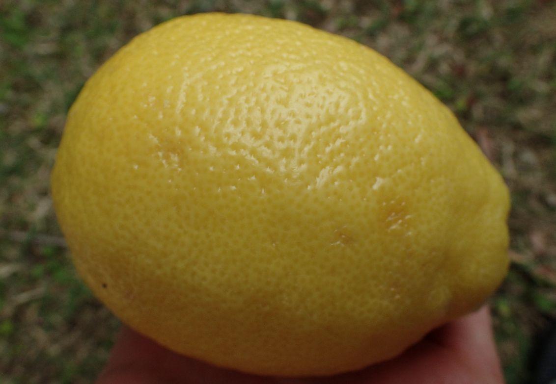 スーパーで購入したレモンの果実(※外国産)